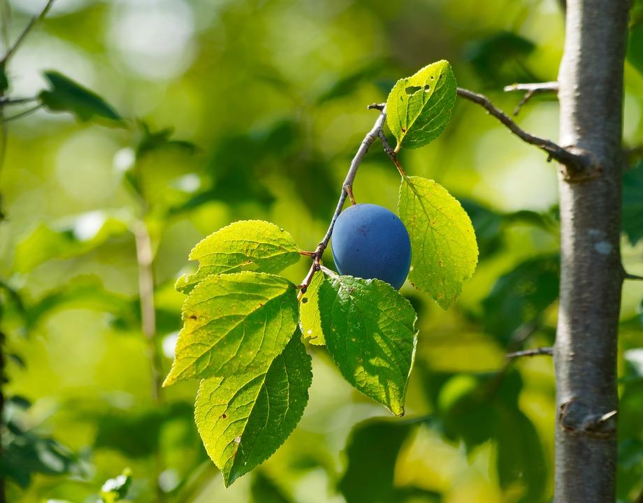 Pousse du prunelier sauvage - crédit photo : pixabay