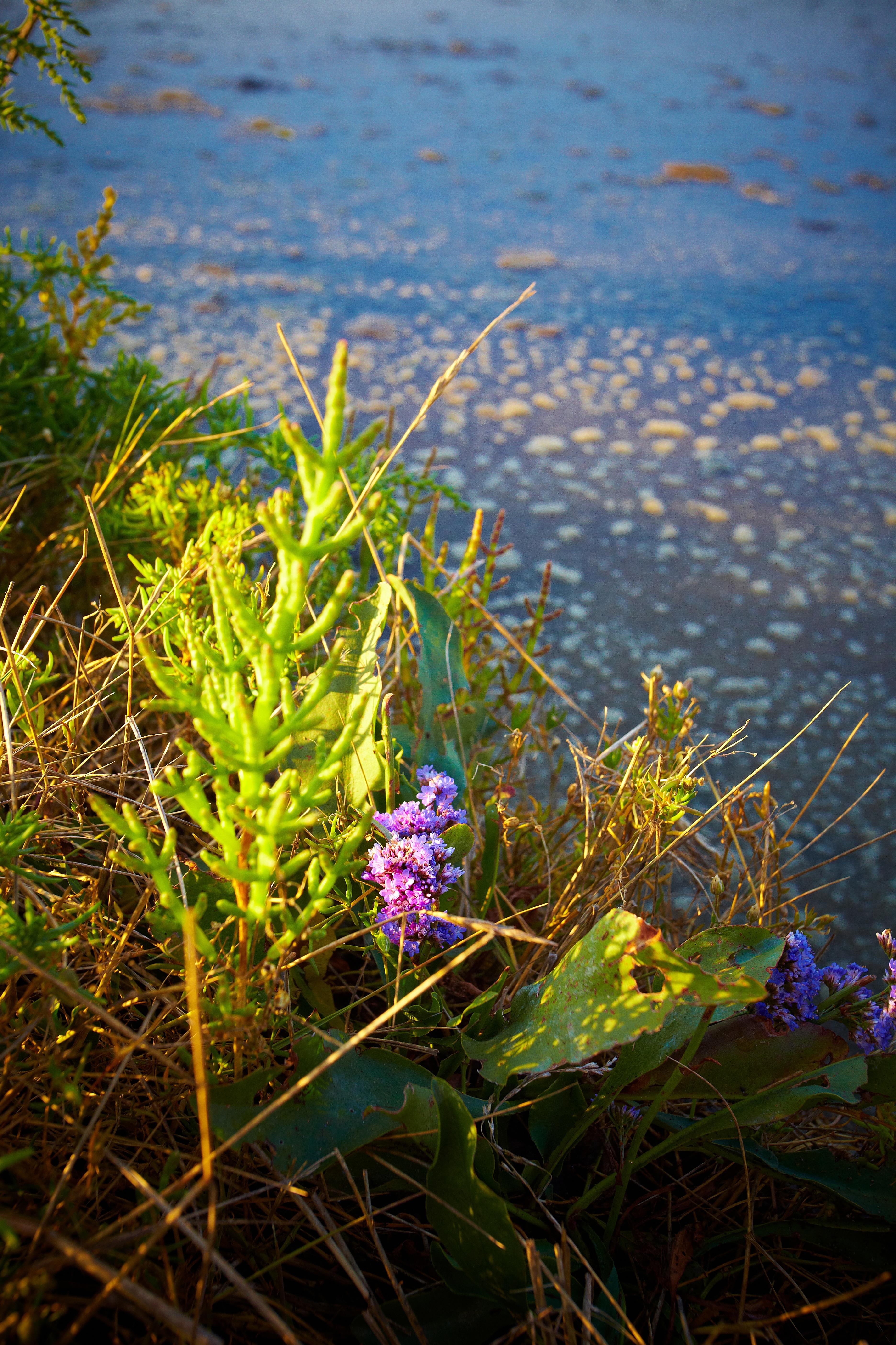 Talmont Saint Hilaire, Salicorne dans les marais - Crédit photo : ©A. Lamoureux