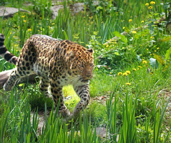 Panthere de l'amour - Crédit Photo : ©Zoo des Sables - S.Silhol