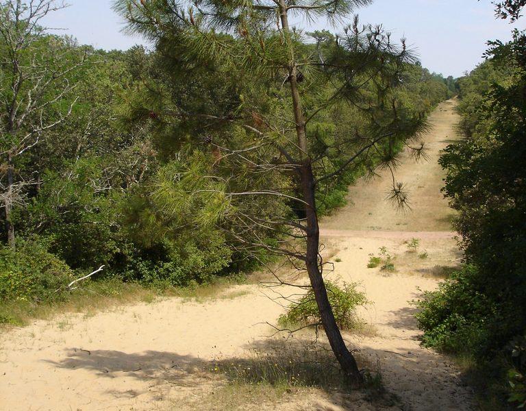 Pin en forêt de Longeville sur Mer crédit office de tourisme destination vendée grand littoral