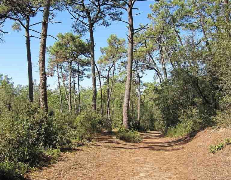 Pins forêt de Longeville sur Mer crédit office de tourisme destination vendée grand littoral