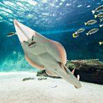 Raie à l'aquarium de Vendée - Talmont-Saint-Hilaire